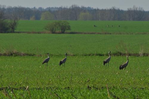#żurawie #ptaki #wiosna #pola