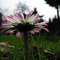 ... po prostu, stokrotka polna ... #kwiaty #stokrotki