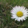 wiosenne różności ... Kochani jeszcze chwilkę i wrócę do Was ... moja Paulinka w niedzielę przystępuje do I Komunii Św. więc muszę się starać ... tym razem bardzo wyjątkowo ... :)) #kwiaty #stokrotki #łąka #wiosna
