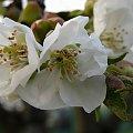 wiosenne różności ... Kochani jeszcze chwilkę i wrócę do Was ... moja Paulinka w niedzielę przystępuje do I Komunii Św. więc muszę się starać ... tym razem bardzo wyjątkowo ... :)) #kwiaty #czereśnia #ogród #wiosna #makro