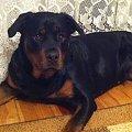 #rottka #rottweiler #rottweilerom #rottweilery
