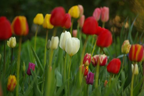#kwiaty #tulipany #wiosna