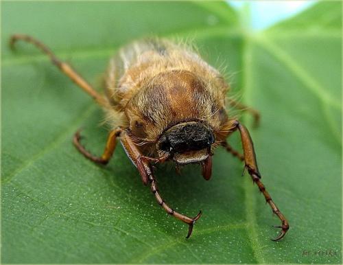 to też jest ogródkowy gość ... :) #chrabąszcze #maj #ogród #owady #wiosna #chrząszcze