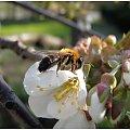 kwiaty. #kwiaty #czereśnia #wiosna #ogródek #pszczoła #pszczoły #drzewo #drzewa