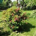 Krzewuszka #fuksja #irysy #jaśmin #margaretki #piwonie #ptaki #rododendron