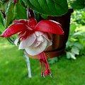 Fuksja #fuksja #irysy #jaśmin #margaretki #piwonie #ptaki #rododendron