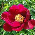 Piwonia #fuksja #irysy #jaśmin #margaretki #piwonie #ptaki #rododendron