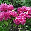 Rododendron #fuksja #irysy #jaśmin #margaretki #piwonie #ptaki #rododendron