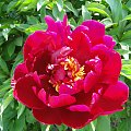 Piwonie #fuksja #irysy #jaśmin #margaretki #piwonie #ptaki #rododendron