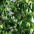 Czereśnie #fuksja #irysy #jaśmin #margaretki #piwonie #ptaki #rododendron
