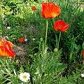 Maki #fuksja #irysy #jaśmin #margaretki #piwonie #ptaki #rododendron
