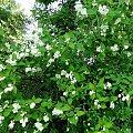 Jaśmin #fuksja #irysy #jaśmin #margaretki #piwonie #ptaki #rododendron