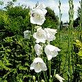 Białe dzwoneczki:) #fuksja #irysy #jaśmin #margaretki #piwonie #ptaki #rododendron