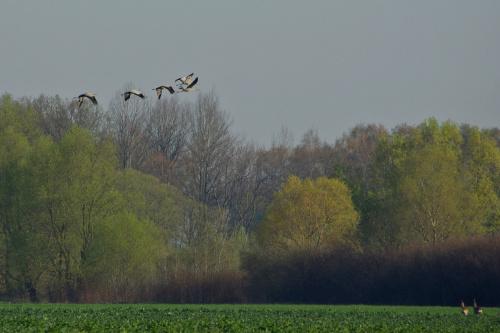 lecą żurawie... #żurawie #pola #wiosna