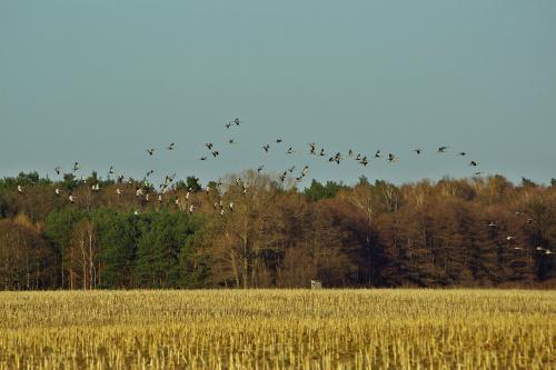lecą żurawie... #ptaki #żurawie