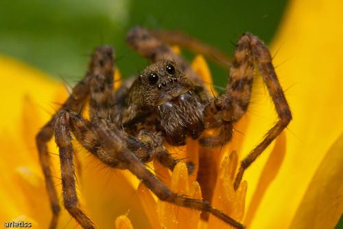 Smatrij w maje gałaza... #makro #owady #pająk #arietiss