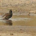 #ptaki #szpak #kałuża