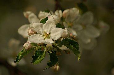 #jabłoń #kwiaty #wiosna #DrzewaOwocowe