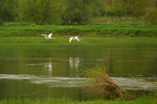 #Odra #rzeka #ptaki #łabędzie #natura