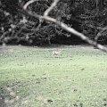 Kwiczoł, Sójka, Jelonek w Kużnicach #sójka #kwiczoł #jeleń #xnifar #rainski
