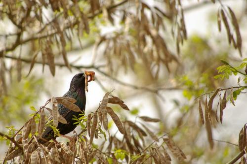 #ptaki #szpaki