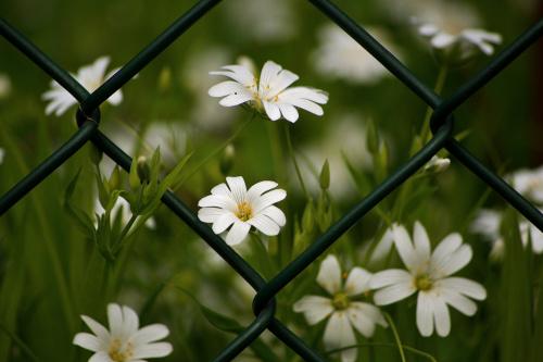#kwiaty #wiosna #ogrodzenie #siatka #maj #RogownicaPolna