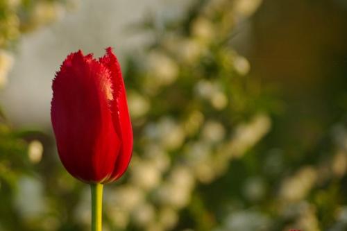 znowu tulipany (sięgnęłam do nich, by złożyć życzenia urodzinowe i trudno oprzeć się pokusie pokazania większej ich ilości) #kwiaty #tulipany #maj #wiosna #ogród