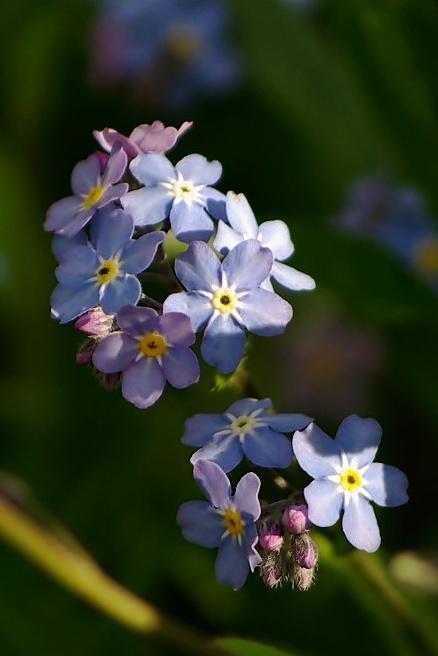 #kwiaty #niezapominajki