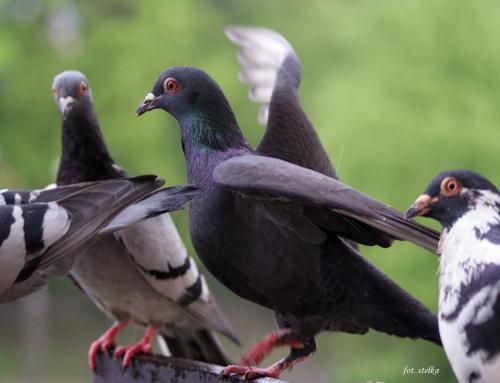 deszczowe ... balkonowe ... wiecznie głodne ptaszki ... :)) #ptaki #gołębie #NaBalkonie #wiosna