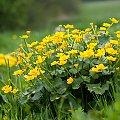 Kaczeńce... #natura #kwiaty #kaczeńce #arietiss