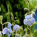 troszkę kwiatków, troszkę chwaścików ... :)) #kwiaty #chwasty #zielsko #ogród #wiosna