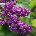 troszkę kwiatków, troszkę chwaścików ... :)) #bez #lilak #kwiaty #ogród #wiosna
