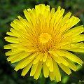 troszkę kolorków ... :)) #chwasty #mlecz #kwiaty #ogród #wiosna