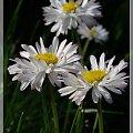 stokroteczki #stokrotki #kwiaty #ogród