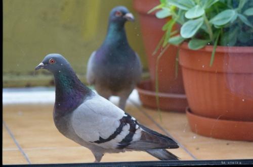 moi goście ... :)) #ptaki #gołębie #NaBalkonie #goście #wiosna #maj