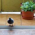 gość w dom ... Bóg w dom ... :)) #ptaki #gołębie #NaBalkonie #goście #wiosna #maj