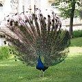 Paw, Pawie, Paw, Peacock #Pawie #Paw #Peacock #xnifar #rafinski