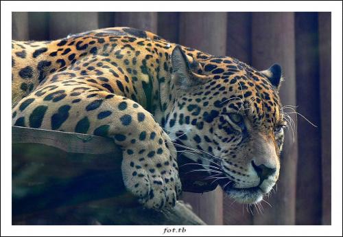 """""""Przeszklone"""" spotkanie z jaguarem...zainteresowanie..."""