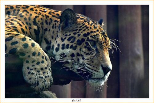"""""""Przeszklone"""" spotkanie z jaguarem...senność..."""