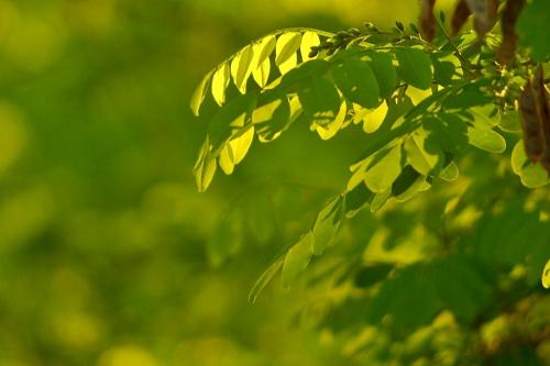 #akacja #drzewa #wiosna
