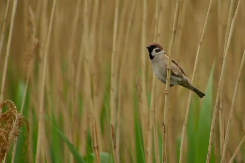 prawie jak trzcinniczek :) #ptaki #wróblowate #mazurek #trzciny