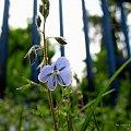 w moim ogrodzie ... #chwasty #kwiaty #ogród #wiosna #maj