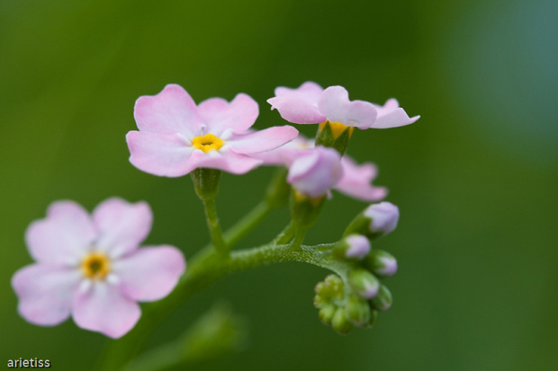 Niezapominajki... #kwiaty #flora #makro #niezapominajki #arietiss