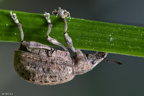 Żeby tylko nie spaść... #makro #owady #natura #arietiss
