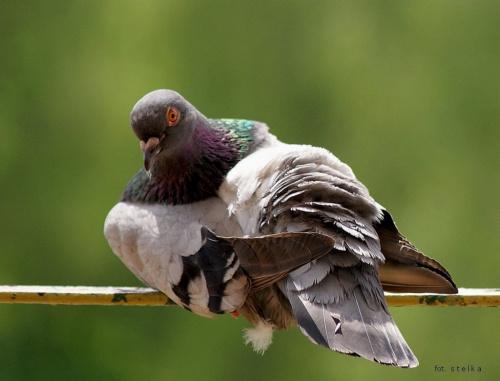 po deszczu ... suszę piórka ... :)) #ptaki #gołębie #NaBalkonie #PoDeszczu #wiosna