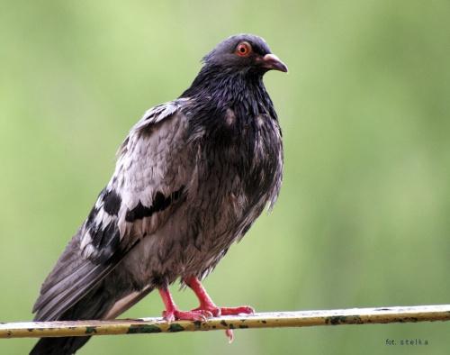 zmokłem i teraz czekam na słońce ... :)) #ptaki #gołębie #NaBalkonie #wiosna #PoDeszczu