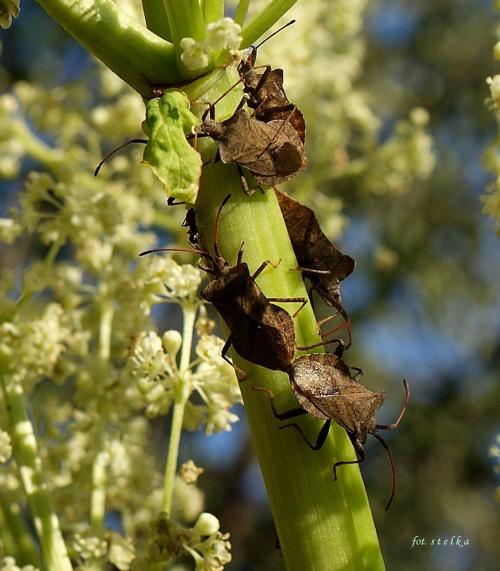 z serii: w moim ogrodzie ... :)) #owady #pluskwiaki #KwiatRabarbaru #ogród #wiosna