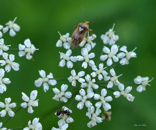 z serii: w moim ogrodzie ... :)) #pluskwiaki #mrówki #owady #chwasty #podagrycznik #KoziaStopa #ogród #wiosna