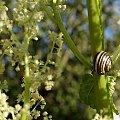 z serii: w moim ogrodzie ... :)) #KwiatRabarbaru #ślimak #ogród #wiosna