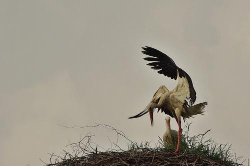 to, co lubię najbardziej- obserwować boćki :) #ptaki #bociany #gniazdo